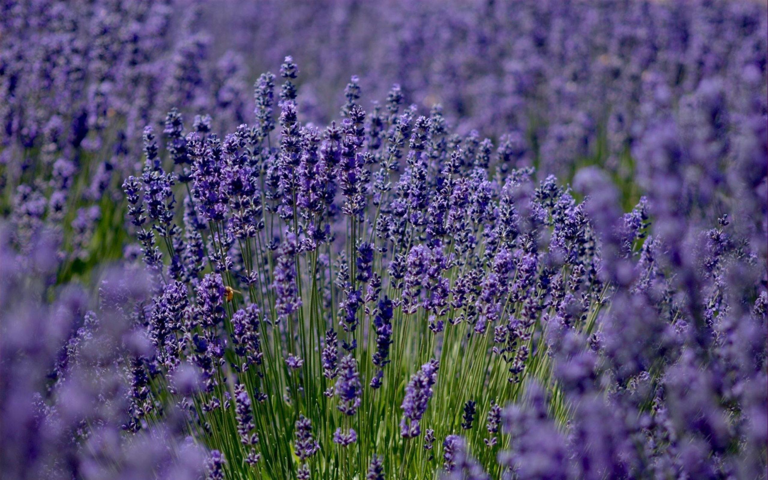 lavender_field_sharpness_52377_3840x2400